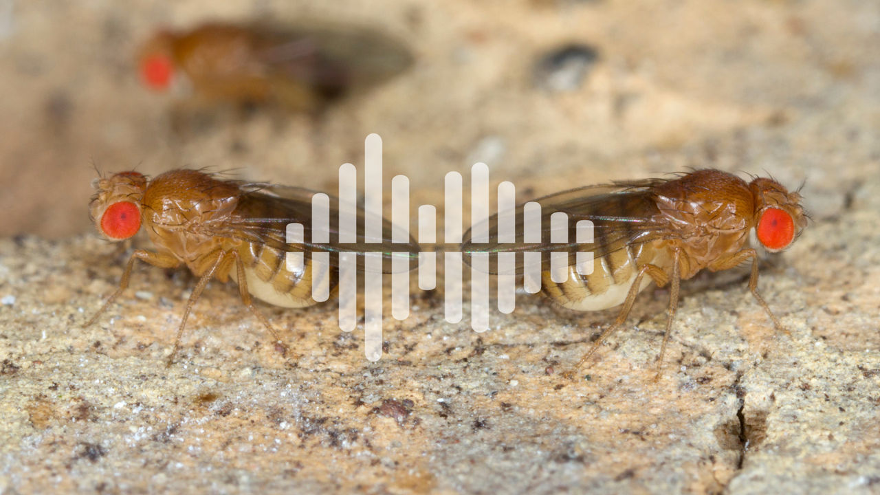 two fruit flies with podcast symbol overlay